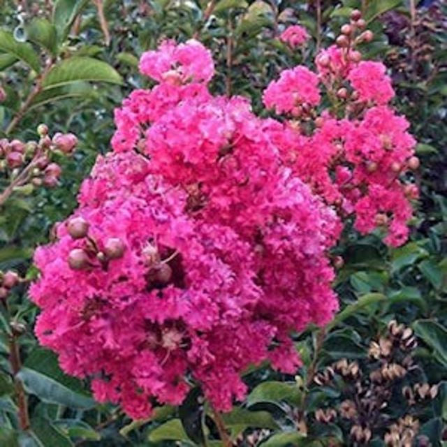 Crepe Myrtle (Pink) - The Living Urn Bio Urn
