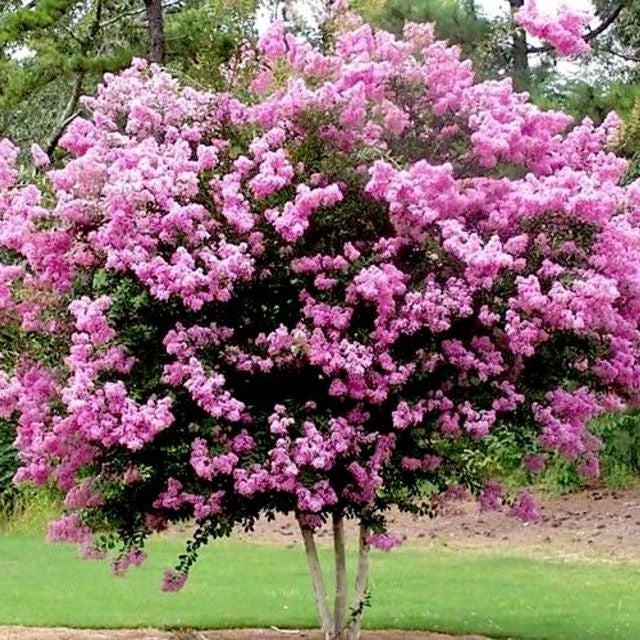 Crepe Myrtle (Purple) - The Living Urn Bio Urn