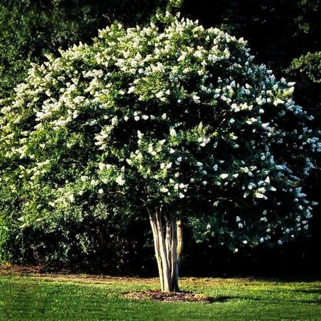 Crepe Myrtle (White) - The Living Urn Bio Urn