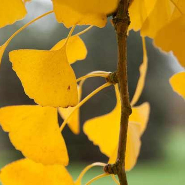 Gingko Biloba (Living Legacy Tree) - The Living Urn Bio Urn