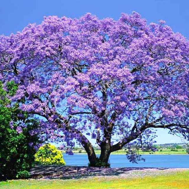 Jacaranda - The Living Urn Bio Urn