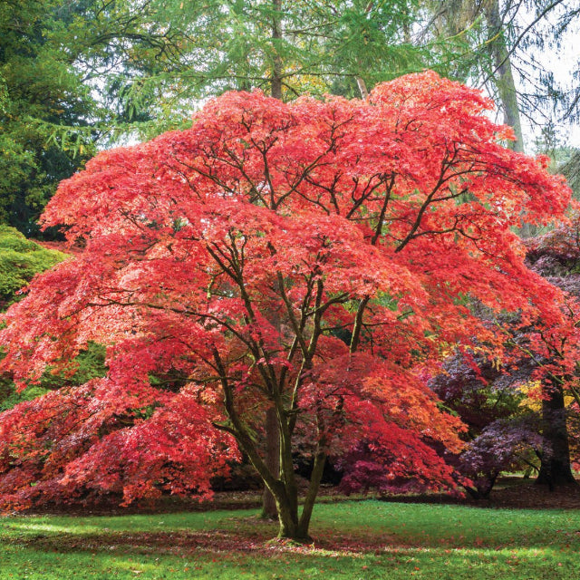 Japanese Maple - The Living Urn Bio Urn