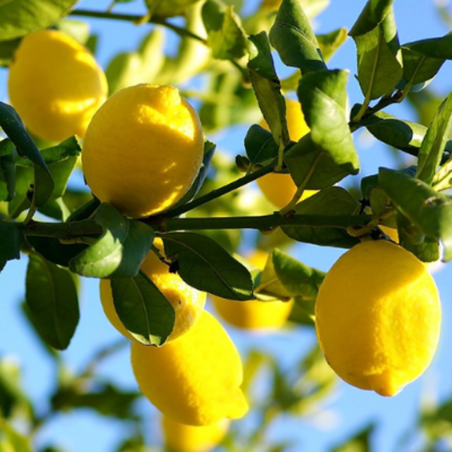Lemon Tree - The Living Urn Bio Urn