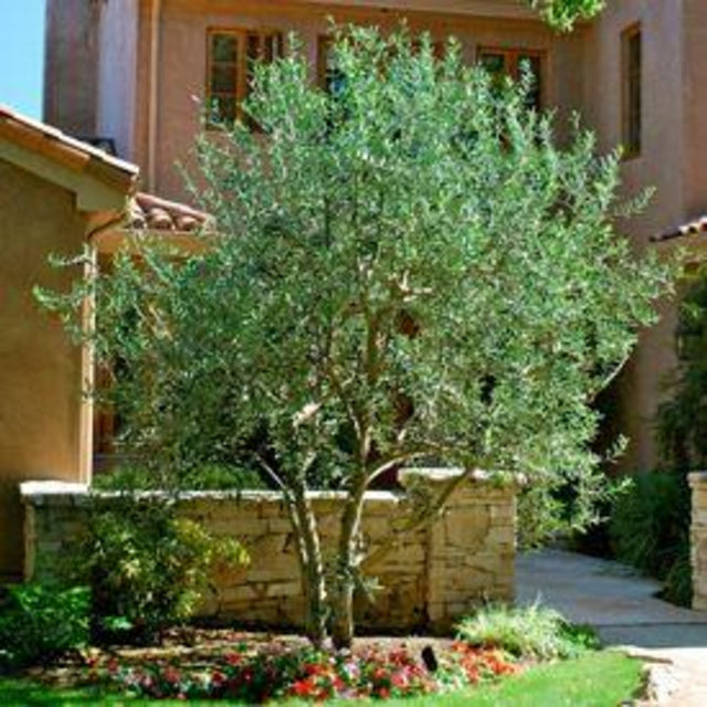 Olive Tree - The Living Urn Bio Urn
