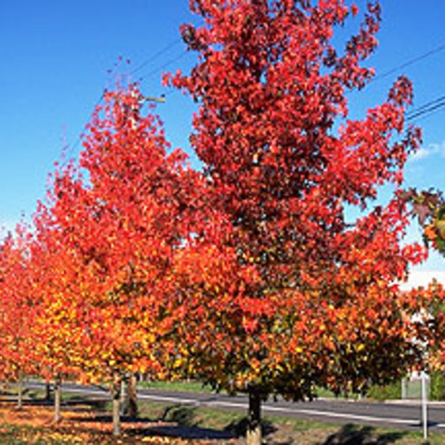 "Liquidambar ""Sweet Gum"" - The Living Urn Bio Urn"