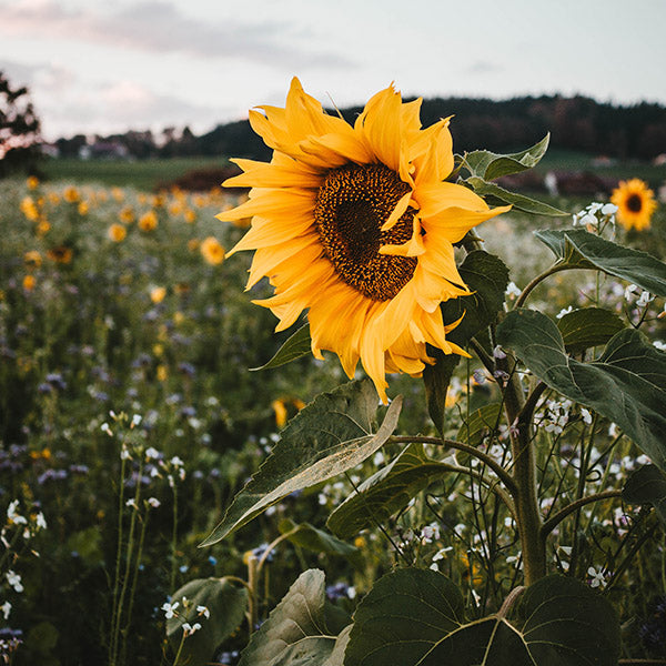 Sunflower – just a so sweet bloom