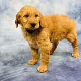 Buddy - Goldendoodle