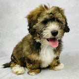 Callie - Mini Bernedoodle