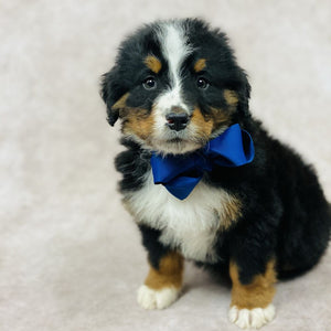 Charlie - Bernese Mountain Dog