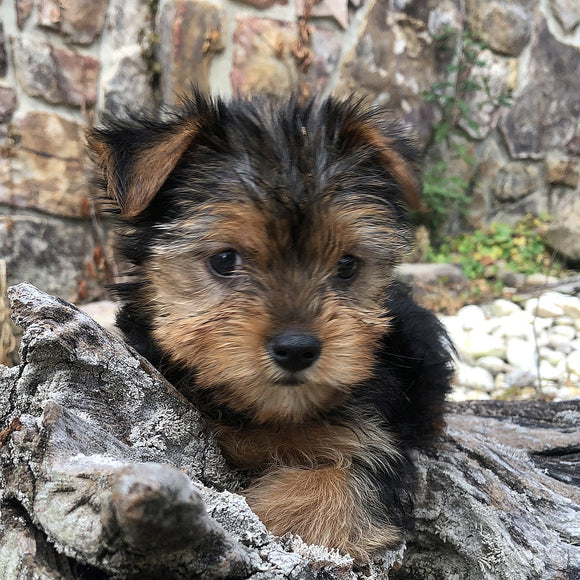 Cookie - Yorkshire Terrier