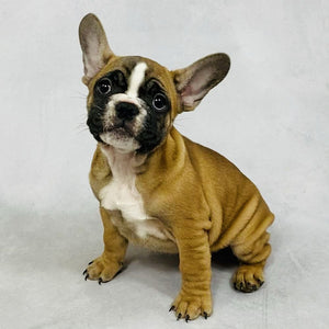 Sonja - AKC French Bulldog