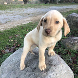 Tik -  Golden Labrador