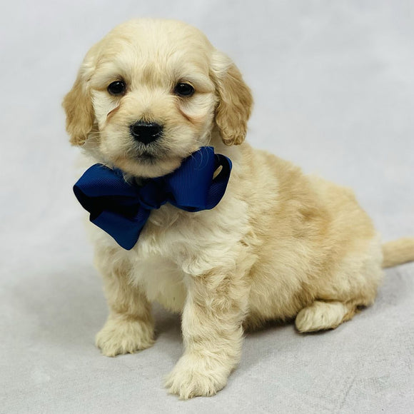 Tiny - Mini Goldendoodle