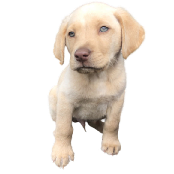Tok -  Golden Labrador