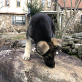 Coco - German Shepherd