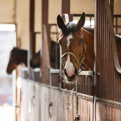 How Much Do You Know About Inflammatory Airway Disease In Horses?