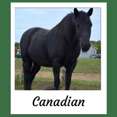 Canadian Horse