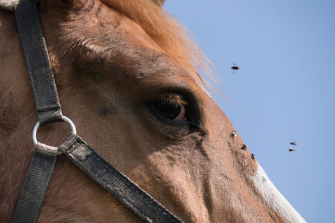 Flies and close up of horse