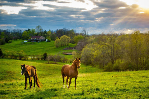 Two horses in a lush field