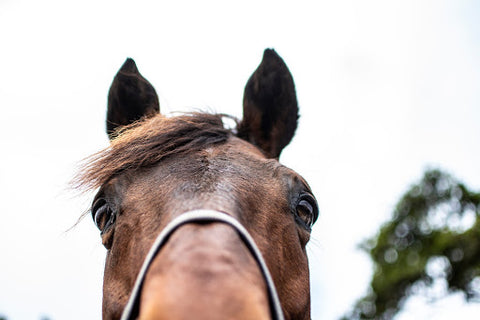 Close up of horse face