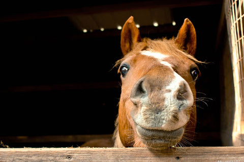 Smiling horse in stable