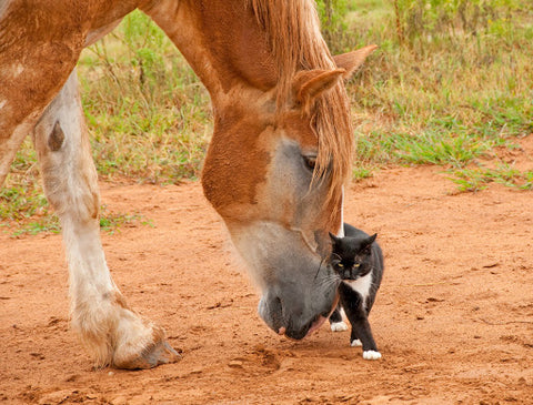 Cat rubbing on horse's nose