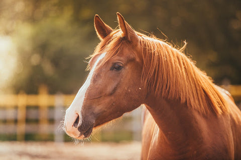 Horse during golden hour