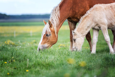 Horse with foal eating grass
