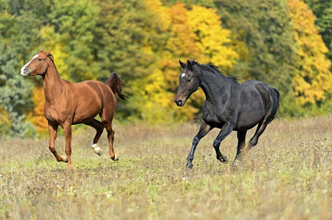 Two horses running in a field during fall