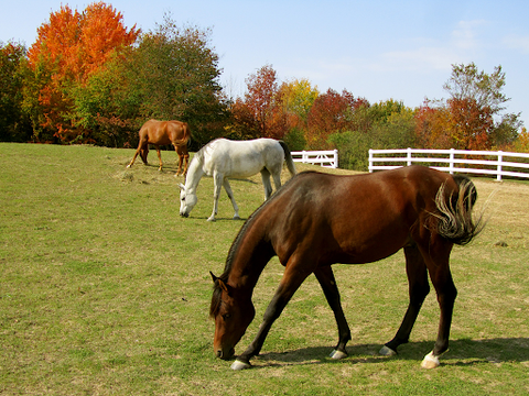 Three horses in a field during fall