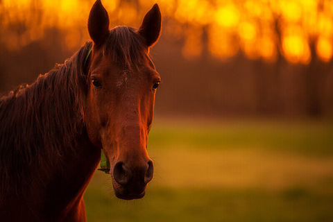 Horse at sunst
