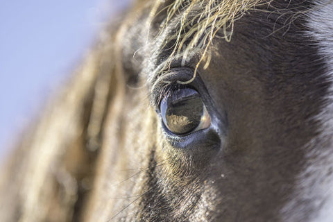 An infection that horses tend to get in the summer is Conjunctivitis