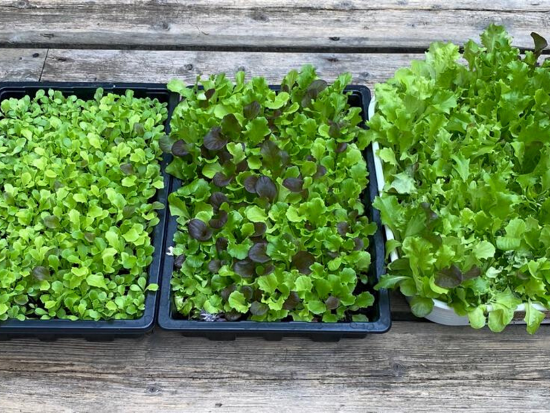 It's Time To Grow Your Own Lockdown Lettuce