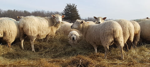 Topsy Farms' large white guardian dog nestled in loose hay, surrounded by fluffy white sheep in a barnyard