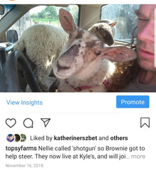Interior of a pickup truck with a large lamb on a man's lap, looking out the window