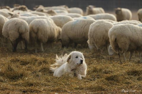 Large white dog lying on hay, with white sheep grazing in the background