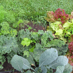 close up of red and green lettuce, broccoli, and carrot greens growing in dark, rich soil