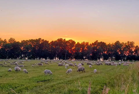 Topsy Farms' ewes and lambs grazing in a green pasture with the sun setting behind leafy green trees in the background