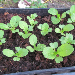 close up of green chinese cabbage seedlings in rich dark soil