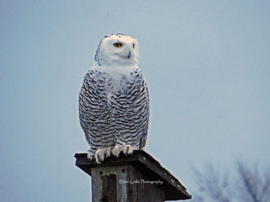 Event, Snowy Owl Outing - Sold Out