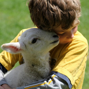 Adopt a foster lamb at Topsy Farms on Amherst Island