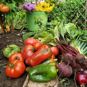 Ripe red tomatoes, purple chard, beets, and green pepers on fertile garden soil, with tomato and pea plants growing tall in the background.