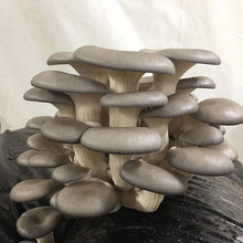 Load image into Gallery viewer, Oyster Mushroom Sawdust Spawn  - (Pleurotus spp.) - 5lb