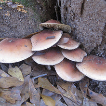 Load image into Gallery viewer, Bricktop Plug Spawn - (Hypholoma lateritium)