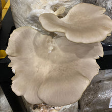 Load image into Gallery viewer, Oyster Mushroom Fruiting Kit - (Pleurotus sp.)