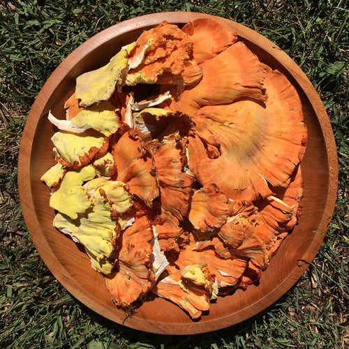 Chicken of the Woods Plug Spawn - (Laetiporus spp.)