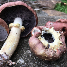 "Load image into Gallery viewer, King Stropharia ""Clemson"" - Garden Giant - (Stropharia rugoso-annulata) - 5lb"