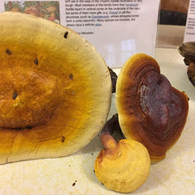 Load image into Gallery viewer, Reishi Mushroom Plugs - (Ganoderma spp.)