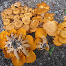 Load image into Gallery viewer, Jack'O'Lantern Plugs - (Omphalotus olearius)