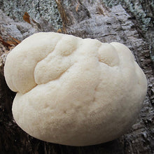 Load image into Gallery viewer, Lion's Mane Mushroom Plug Spawn - (Hericium spp.)